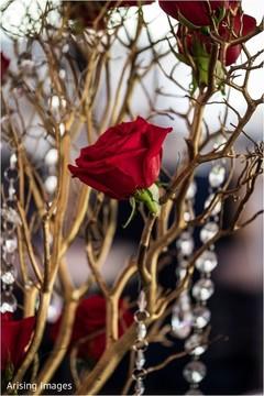Beautiful Indian wedding red rose closeup capture.
