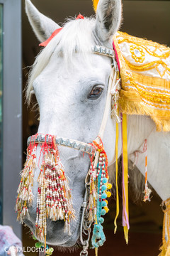 Lovely baraat horse with his decorations.