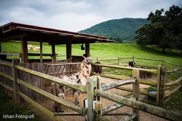 Take a look at this Indian wedding Llama capture.