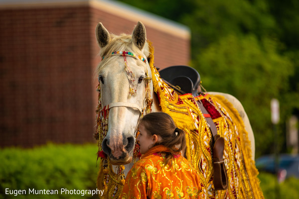 Indian baraat white horse with his golden and red cover.