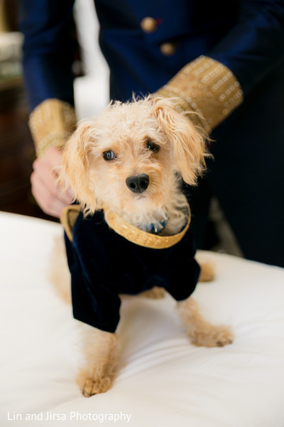 dog,pup at indian wedding,indian wedding,fusion wedding,fusion wedding pet,fusion wedding pet outfit